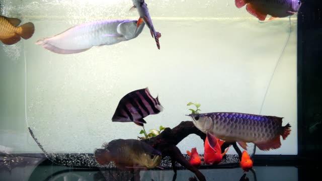grup balık yüzer ve güzel ve parlayan ölçek balık tank - doğa kavramı üzerinde gösterilen yüzmek - i̇htiyoloji stok videoları ve detay görüntü çekimi