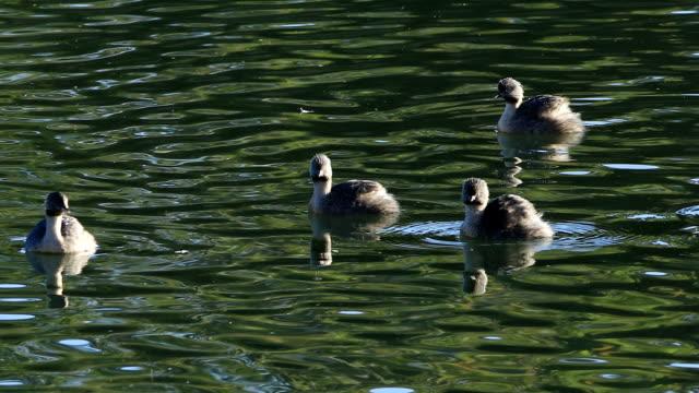 group hoary-headed grebe, poliocephalus poliocephalus, on pond - svasso video stock e b–roll