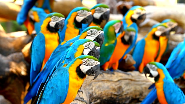 Group macaw parrots video