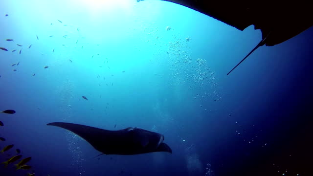 group manta ray relax in striped snapper school fish seabed in clear blue water. - луциан стоковые видео и кадры b-roll