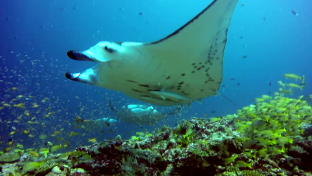 Group Manta ray relax underwater in striped snapper school fish in ocean. Group Manta ray relax underwater in striped snapper school fish in ocean. Sea dweller in search of food. Stingray feeds on mollusks and small fish. Diving in marine life. Unique background. indian ocean stock videos & royalty-free footage