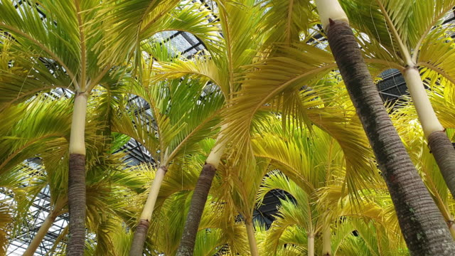 group of Adonidia merrillii Golden Christmas Palm beautiful tropical tree in yellow color