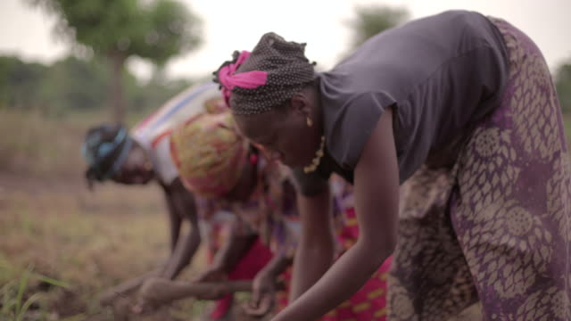 Group of African female farmers planting rice video