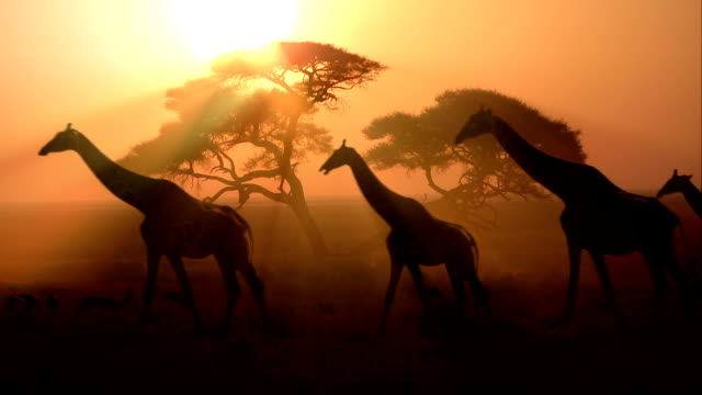 group of african giraffes at sunset video