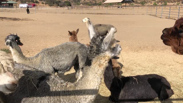 Group of alpacas video