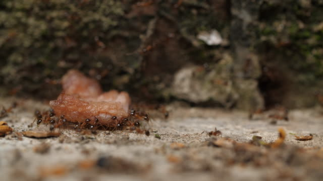 group of ants carrying food , 4k - portare video stock e b–roll