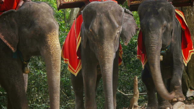 Group of Asian or Asiatic elephants for tourists, Cambodia, Asia video