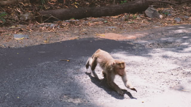 Group of baboons walking across road