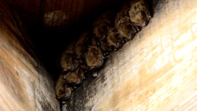 gruppo di pipistrelli roosting in legno tetto joist angolo - appollaiarsi video stock e b–roll