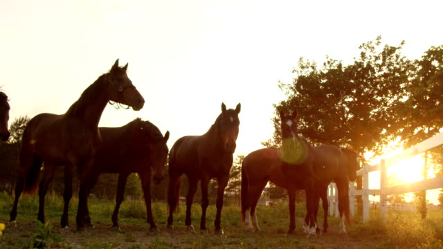 SLOW MOTION: Group of beautiful horses stand in a row on pasture field on ranch SLOW MOTION, CLOSE UP: Beautiful brown horses standing in the row shaking their head at stunning golden light sunset. Group of stallions, geldings, mares, foals and colts on the farm ranch at sunrise corral stock videos & royalty-free footage