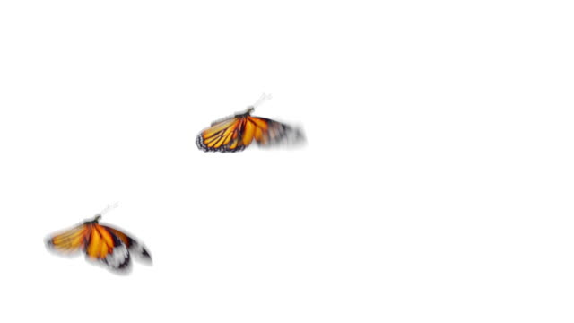 Group of Beautiful Orange Colored Butterflies Monarch (Danaus Plexippus) Flying on White and Green Backgrounds Close-up. Seamless 3d Animation with Green Screen Alpha Channel. Group of Beautiful Orange Colored Butterflies Monarch (Danaus Plexippus) Flying on White and Green Backgrounds Close-up. Seamless 3d Animation with Green Screen Alpha Channel. 4k UHD 3840x2160. butterfly insect stock videos & royalty-free footage