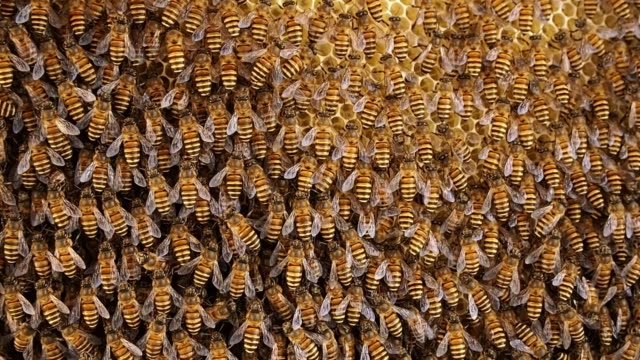 vídeos de stock e filmes b-roll de group of bees working on honeycombs in beehives - honeycomb