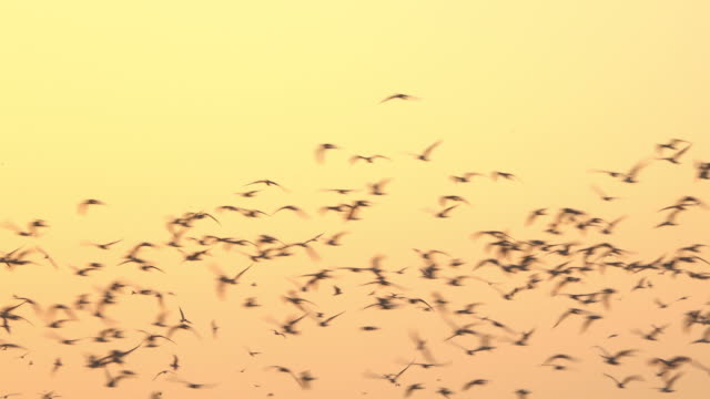 Group of bird flying on yellow sky video