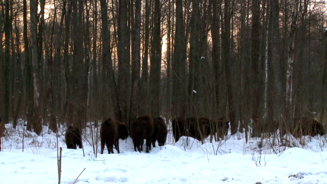 Group of Bison video