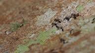 istock Group of black ant on bark tree 1298057887