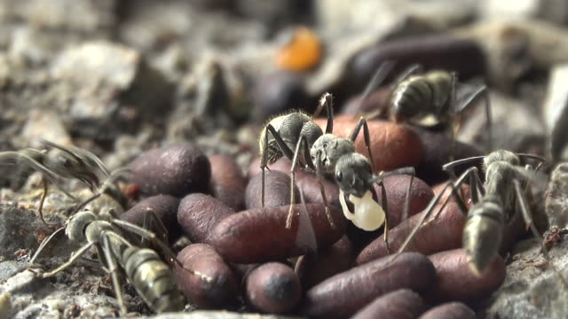 Group of black ant Close-up group of black ant working in the nest animal family stock videos & royalty-free footage