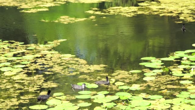 Group of black scoters or sea ducks on the lake in city park Group of black scoters or sea ducks on the lake in city park duckweed stock videos & royalty-free footage