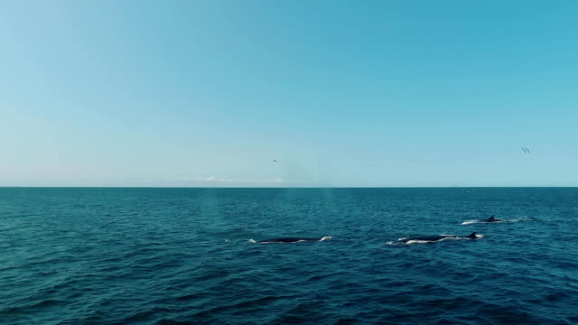 Group of blue whales in the ocean video