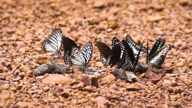 Group of butterflies try to get some food from minerals and sewage at hill in Thailand. Tropical area.