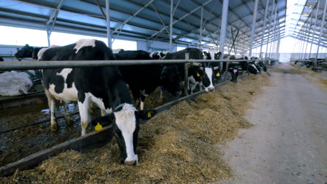Group of cattle chewing hay in modern farm building. video