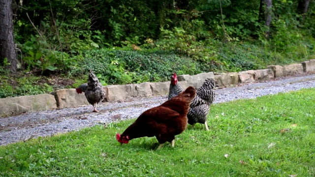 group of chickens walk across farmland in summer - angle 2 - joseph kelly stock videos and b-roll footage