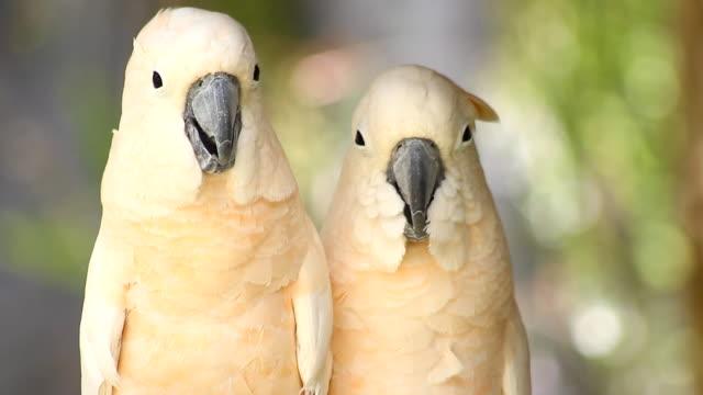 group of cockatoo white bird video