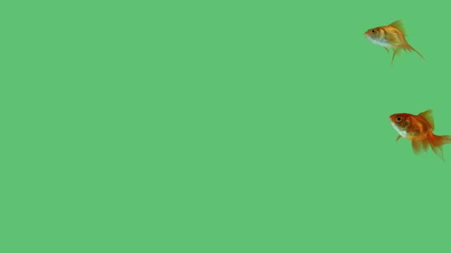 グループの金魚に緑色の画面 - 魚点の映像素材/bロール