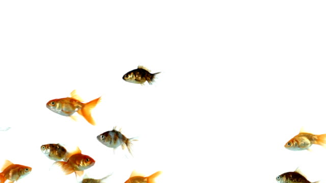 Group of colorful goldfish on white background video