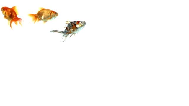 group of colorful goldfish on white background - iktyologi bildbanksvideor och videomaterial från bakom kulisserna