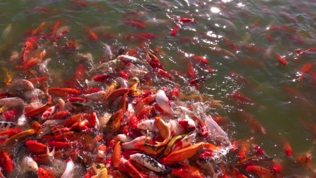 a group of colorful koi fish swim happily in the pond. - group of people filmów i materiałów b-roll