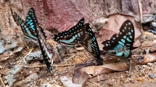 Group of Common Jay butterfly