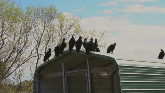 group of Coragyps Atratus black vultures sitting on a roof This video shows a group of Coragyps Atratus black vultures on a roof with a cloudy sky in the background. animal family stock videos & royalty-free footage