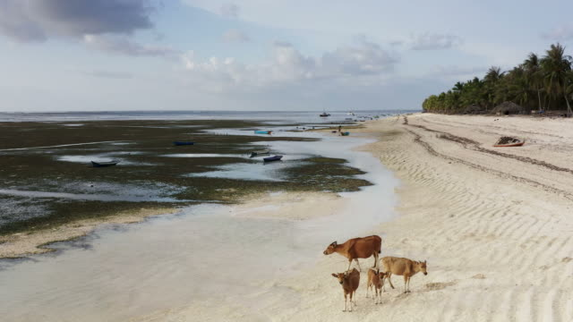Group of cows on a white sand beach in Indonesia