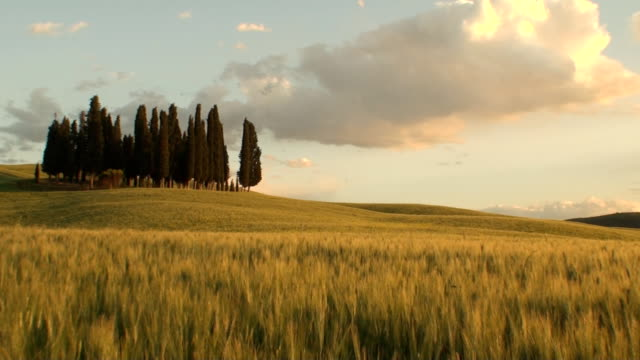 Group of cypress trees at dusk in Tuscany video