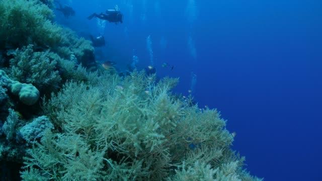 vídeos y material grabado en eventos de stock de grupo de damiselas, coral blando - sea life park