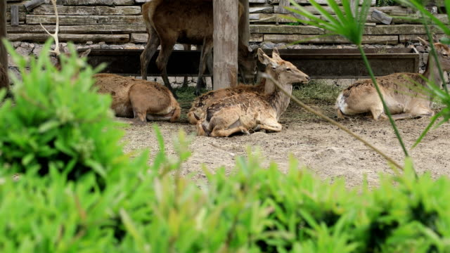 A group of deer resting video