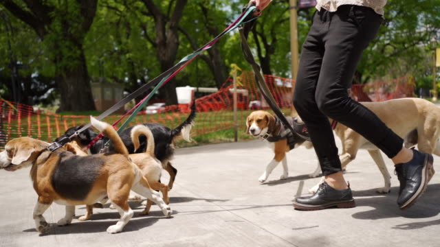 Group of dogs on a walk Hipster mature man walking dogs on leash in public park purebred dog stock videos & royalty-free footage