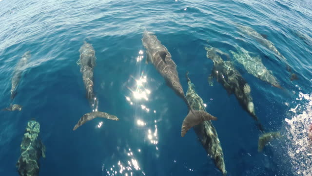 A group of dolphins swim together in the middle of the ocean and play with each other.