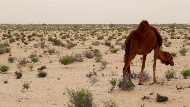 Group of dromedaries in the desert near Douz / Tunisia video