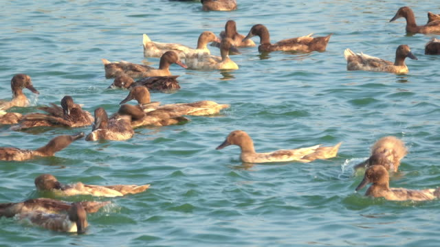 Group of duck playing in water
