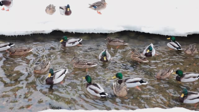 group of ducks and drakes swim in the river with snow - кряква стоковые видео и кадры b-roll