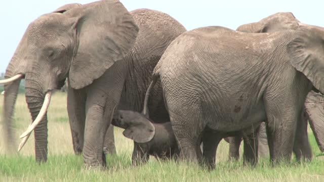 A group of elephants protecting a new mother nursing her baby A group of elephants protecting a new mother nursing her baby bush stock videos & royalty-free footage