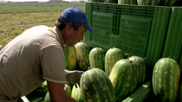 group of farm workers loading watermelons on truck. Harvesting watermelons group of farm workers loading watermelons on truck. Harvesting watermelons watermelon stock videos & royalty-free footage