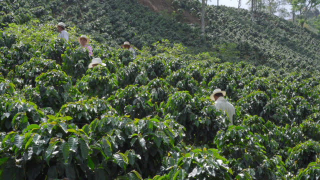 group of farmers collecting coffee beans - coffee farmer video stock e b–roll