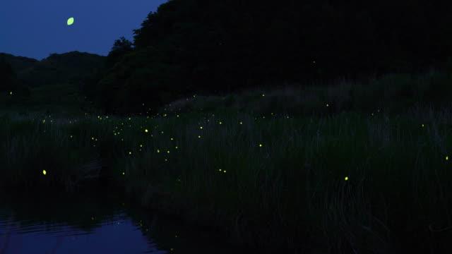 vídeos y material grabado en eventos de stock de grupo de luciérnagas - organismo vivo