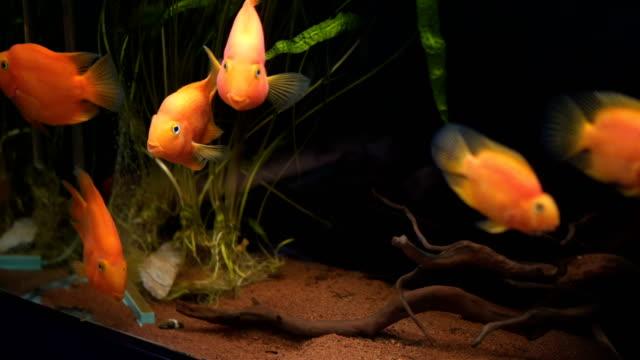 gruppe von fischen in tank - süßwasserfisch stock-videos und b-roll-filmmaterial
