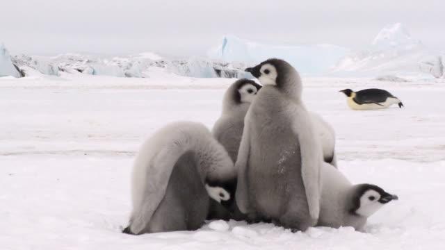 grupa pięciu penguin piskląt - młody ptak filmów i materiałów b-roll
