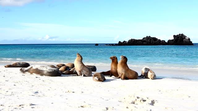 Groep van Galapagos zeeleeuw, Zalophus wollebaeki video