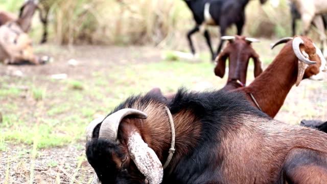 group of goats resting - haryana video stock e b–roll