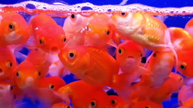 青の背景に金魚鉢と金魚の群れ ビデオ